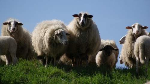 meadow-animals-sheep-wool